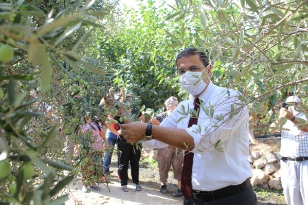 Kaymakam Başaran zeytin hasadına katıldı