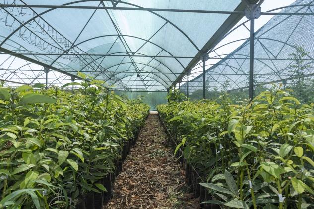 Büyükşehir avokado fidanlığını genişletiyor